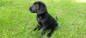 Filhote de cachorro da raça labrador, da cor preta, sentado em um gramado e olhado para o lado esquerdo