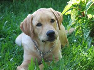 Foto de um filhote de cachorro da raça labrador, sentado na grama, entre folhagens, com olhar atento.