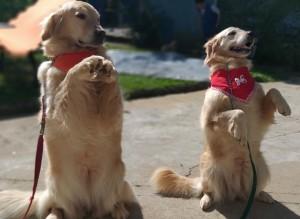 Foto de dois cães da raça Golden Retriever, apoiados sobre duas patas, com lenços vermelhos no pescoço